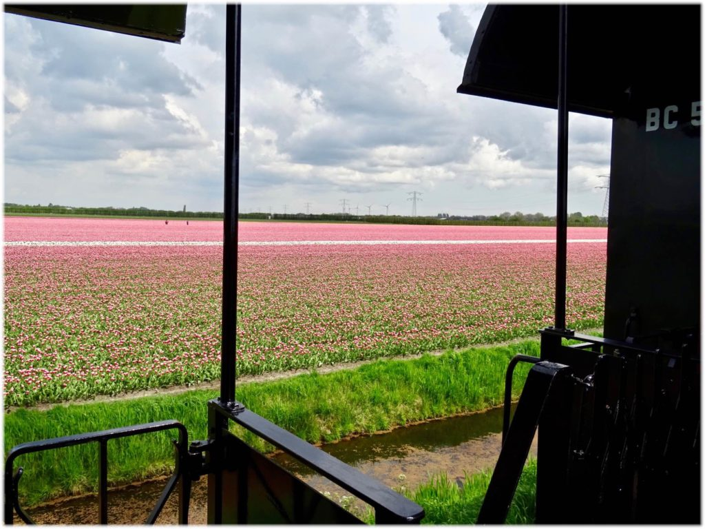 客車から眺めるチューリップ畑