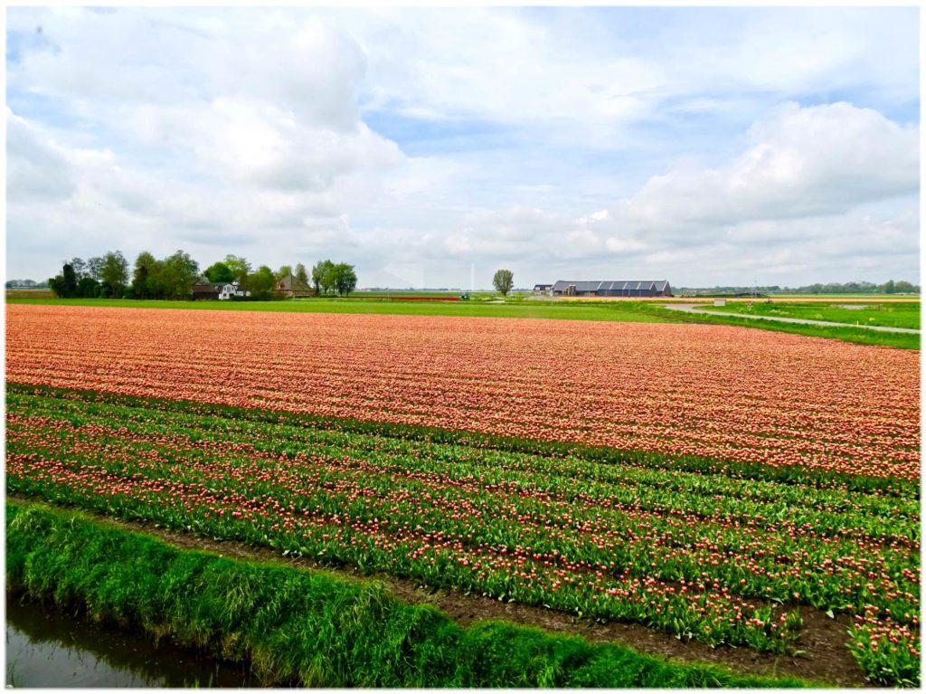 車窓からチューリップ畑の眺め