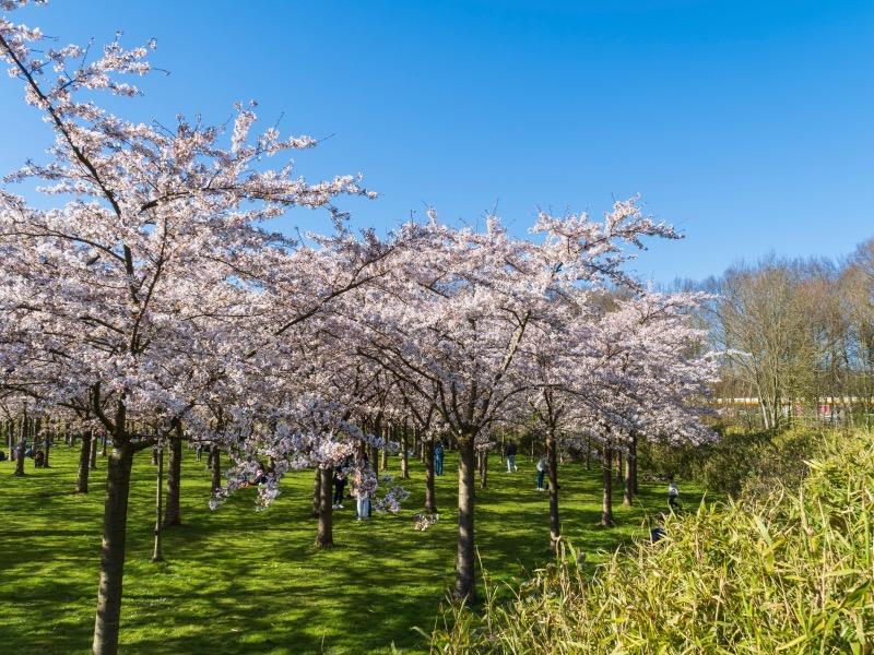 400本の桜の木