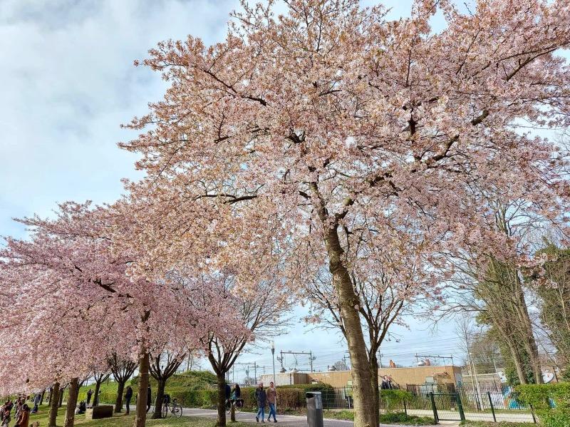 公園にある桜