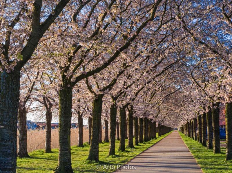 3列の桜並木