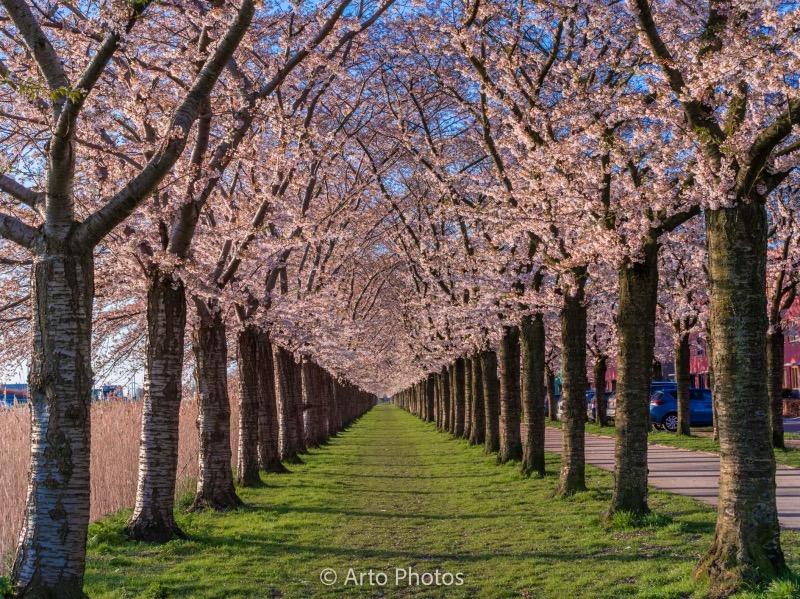 アルメールの桜並木