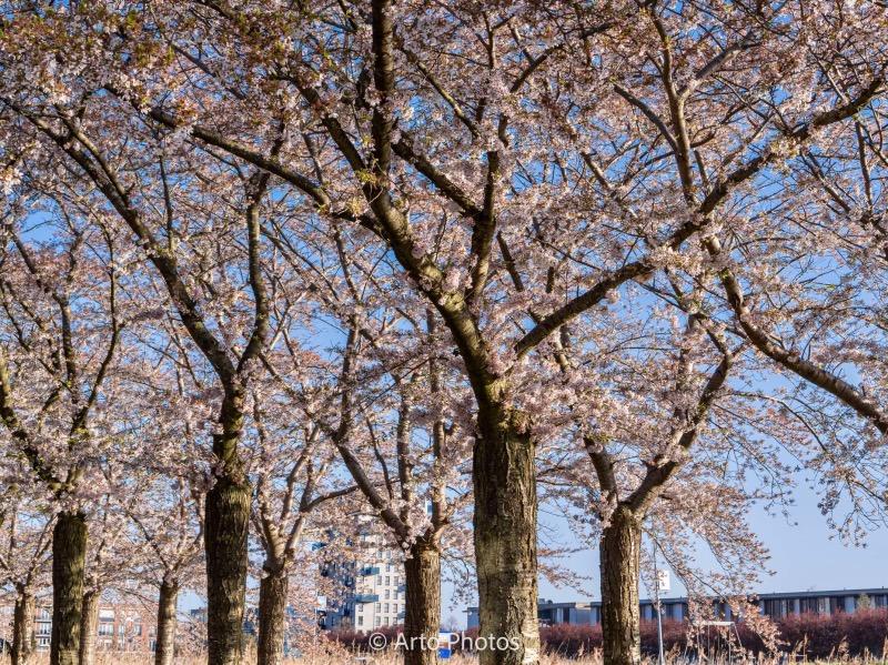 アルメールの桜